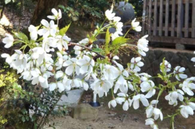 旦飯野神社の結桜~ゆいざくら~